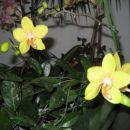 rumeno zelena odpira svoje cvetove