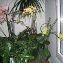 cela zbirka mojih cvetočih orhidej