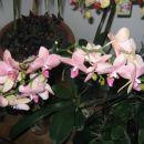 phal roza s črtami (okt 07) v polnem cvetenju