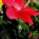 Hčerkin hibiskus - 19.10.07