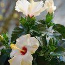 Hčerkin hibiskus 08 - 2.5.08