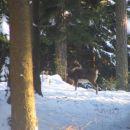 muflonka v gozdu