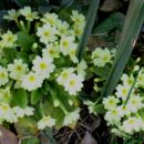 Primula vulgaris - Jeglič, primula, avrikelj