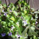 Viola - Vijolica