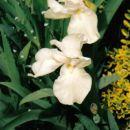 Iris Barbata - Bradata perunika, iris