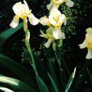 Iris Barbata - Bradata perunika,