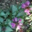 Lamium maculatum - pisanolistna mrtva kopriva