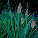 Kniphofia - Knifofija, baklasta lilija