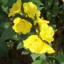 Oenothera - Svetlin