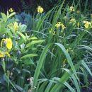 Hemerocallis - Maslenica