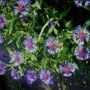 Centaurea - Glavinec