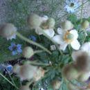 Anemone - Japonska anemona