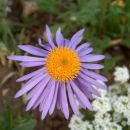 Aster - Astra
