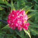 Dianthus barbatus - Turški nagelj, brkati klinček