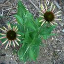 Echinacea - Ameriški slamnik, ehinaceja