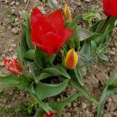 Tulipa - Tulipan