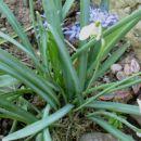 Galanthus - Mali zvonček