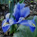 Iris - Perunika, iris
