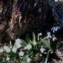 Leucojum - Veliki zvonček in Galamths - mali zvonček