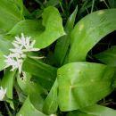 Allium ursinum - Čemaž