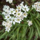 Allium - Luk