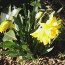 Narcissus - Narcisa, narcis