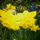 Narcissus - Narcisa (ciklamaste narcise)