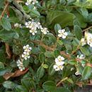Cotoneaster - Panešpljica