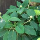 Hydrangea - hortenzija