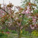 Prunus - Prunus, sliva, češnja