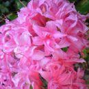 Rhododendron Homebush - Azaleja