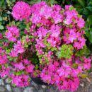 Rhododendron obtusum  japonicum Kermesina