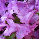 Rhododendron Lilac Time - Azaleja