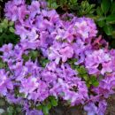 Rhododendron Lilac Time - Azaleja