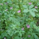 Gozdni slezenovec (Malva sylvestris)