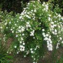 beli grmiček