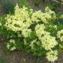 rumeni rododendrum