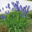 modri iris