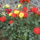 mešano rumeno rdeča vrtnica