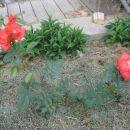 svetlo rdeča vrtnica