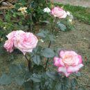 belo roza vrtnica