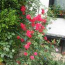 rdeča plazalka