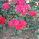 vijolično rdeča vrtnica