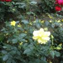 rumena vrtnica