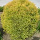 rumeno zelena cimpresa