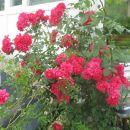 plazeča vrtnica od zgoraj