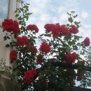 rdeča plezalka-vrtnica