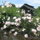 belo roza plezalka-vrtnica