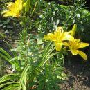 rumena lilija