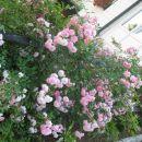 drobno cvetna roza vrtnica od spodaj